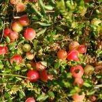 Sabal Pygeum Cranberry Bonusan